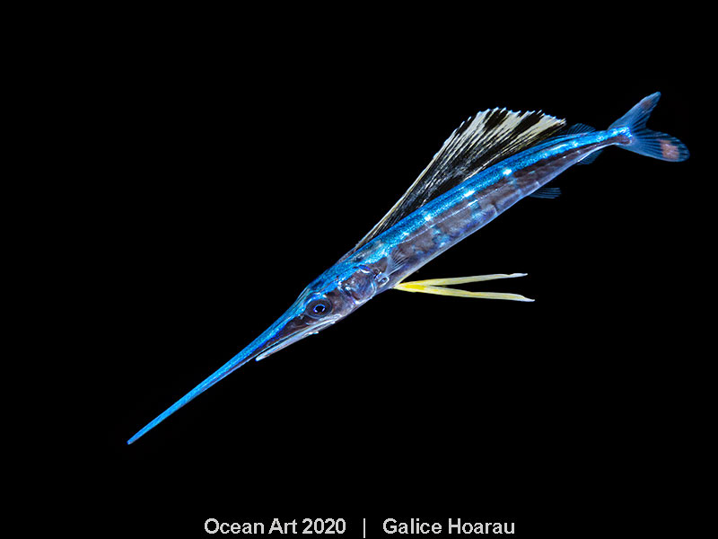 Juvenile Sailfish